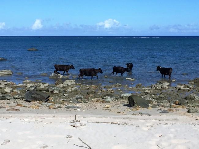 ⑩波うちぎわに海水浴してる人??!牛でした!